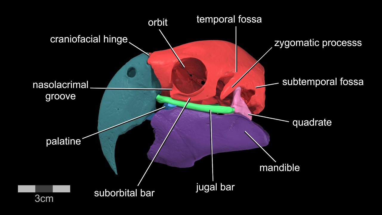 hight resolution of visible interactive parrot macaw skull with labeled skull bones