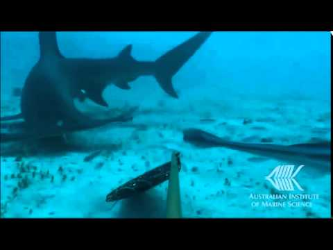 Shark baited remote underwater video surveys (BRUVS)