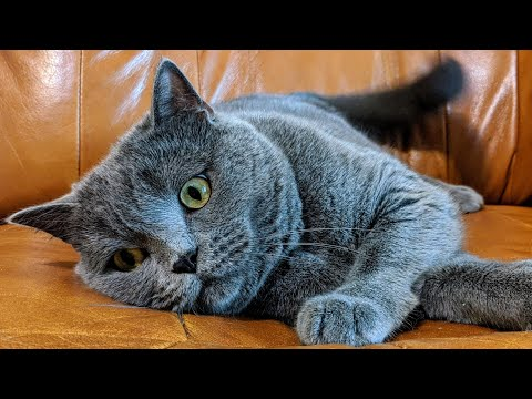 how-to-brush-cat---british-shorthair-cat