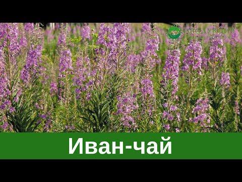 Астрагал (трава) – применение и свойства растения