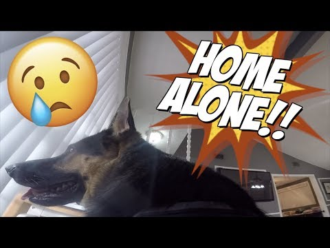 German Shepherd Dog left home alone won't stop crying (HEARTBREAKING)