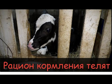 Кормление телят с 0до6 месяцев/Рацион,состав комбикорма/Feeding Calves From Birth To 6 Months,ration