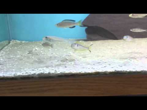 cyprichromis tricolor, xenotilapia