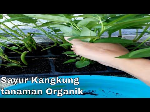 Sayur Kangkung organik