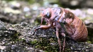 cicada nymph climbing a tree