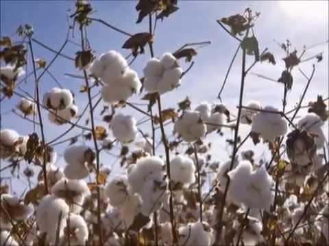 Cottonfields - American folk song