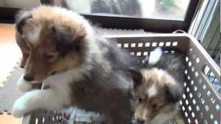 http://life-with-dog.net/kantou/sheruthi-_kantou.html 長野ブリーダ...