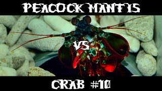 Peacock Mantis VS Crab #10