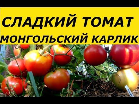 МОНГОЛЬСКИЙ КАРЛИК- СЛАДКИЙ ТОМАТ , ФИТОФТОРОЙ НЕ БОЛЕЕТ