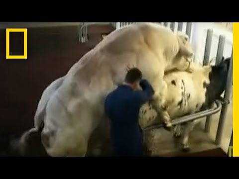 Meet the Super Cow | National Geographic