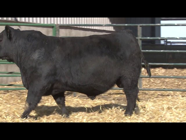 Schiefelbein Angus Farms Lot 7