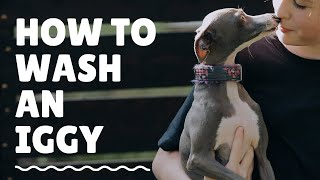 How To Wash An Italian Greyhound