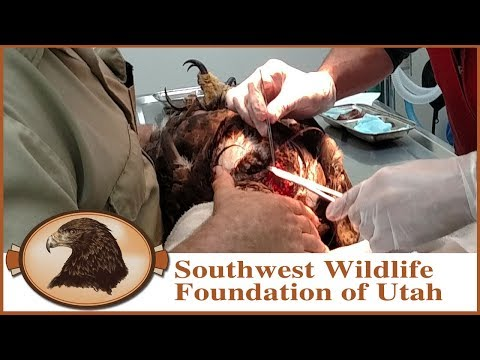 Golden Eagle Hit by Car |  In Critical Condition