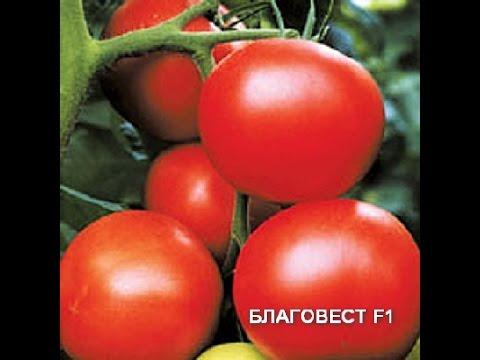 Томат ( помидор) Благовест / Высокорослые томаты / 29 Августа 2016