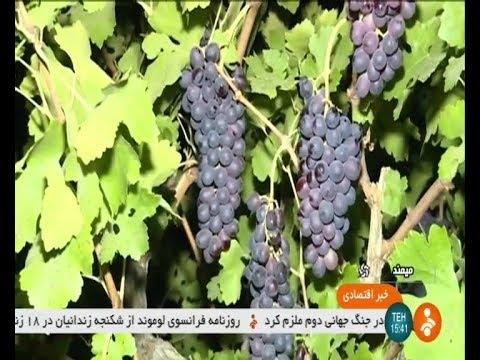 Iran Organic Grapes picking, Firouz-Abad county برداشت انگور ارگانيك شهرستان فيروزآباد ايران