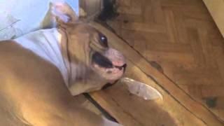видео Если щенок упирается и не идёт на поводке, с чего начинается дисциплина на прогулке, бигль