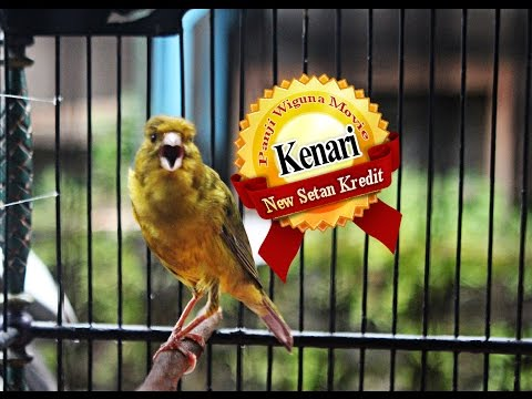 Download Lagu SUARA BURUNG : Aksi Kenari Kecil New Setan Kredit Milik Mr Robby Sailor SF