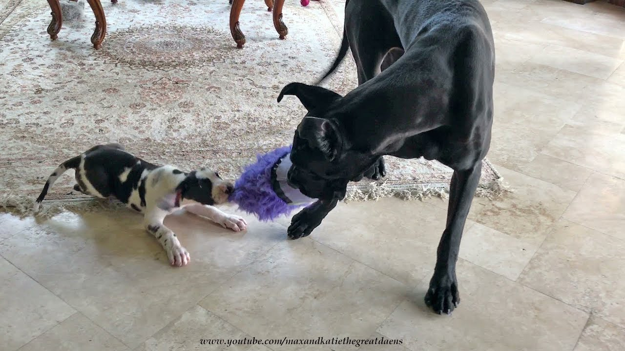 Toys for great danes are right