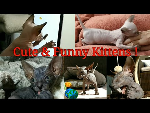 The cutest sphynx kittens moments - Video compilation / DonSphynx /