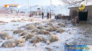 Շնե՞րը, թե՞ գայլերն են հոշոտել 200-ից ավելի ոչխարի. ֆերմերը 10 մլն դրամի վնաս է կրել