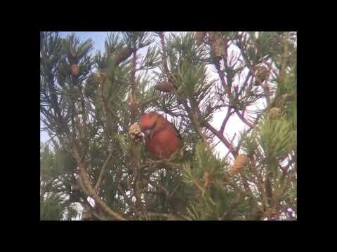 Parrot Crossbill, Surrey, UK.