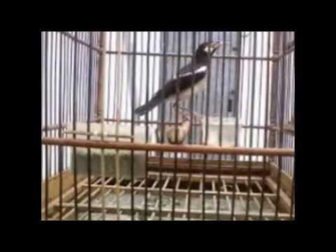 Ciri-Ciri Burung Jalak Suren Yang Cepat Bunyi Dan Gacor