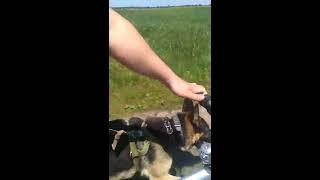 Ездовая собака