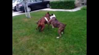 Boxer Dogs Aggressive Behavior Control Orange County Los Angeles