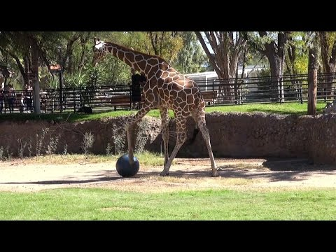 Thumbnail: This Giraffe Gets A Kick Out Of Playing Soccer