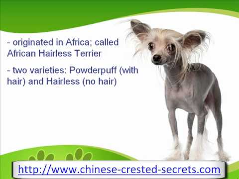 The Curious Chinese Crested