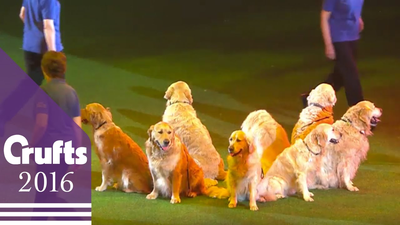Southern Golden Retriever Display Team Crufts YouTube - Golden retriever obedience competition fail