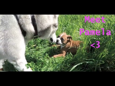 Siberian Husky Meets Boxer PUPPY!!