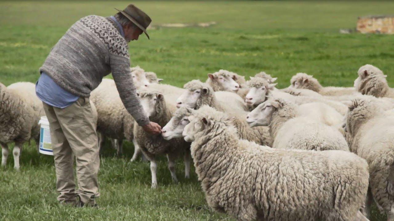 The Good & The BAAAAHD of Working With Sheep | RAMS