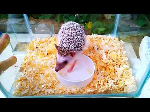 Làm chuồng cho nhím cảnh dễ thương (making a cage for cute porcupine)