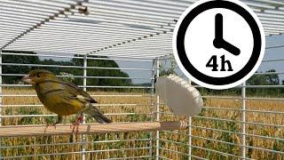 Canary Singing - Timbrado Canary Training Video