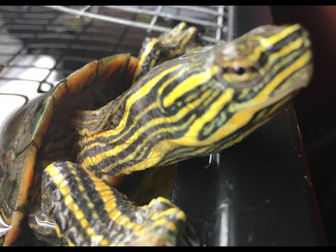 What To Feed Painted Turtles