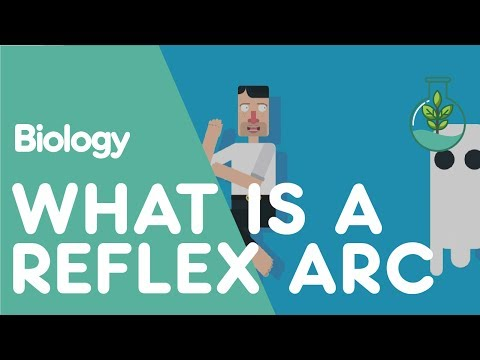 What is a Reflex Arc | Biology for All | FuseSchool