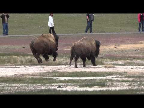 Bison gone mad at Old Faithful