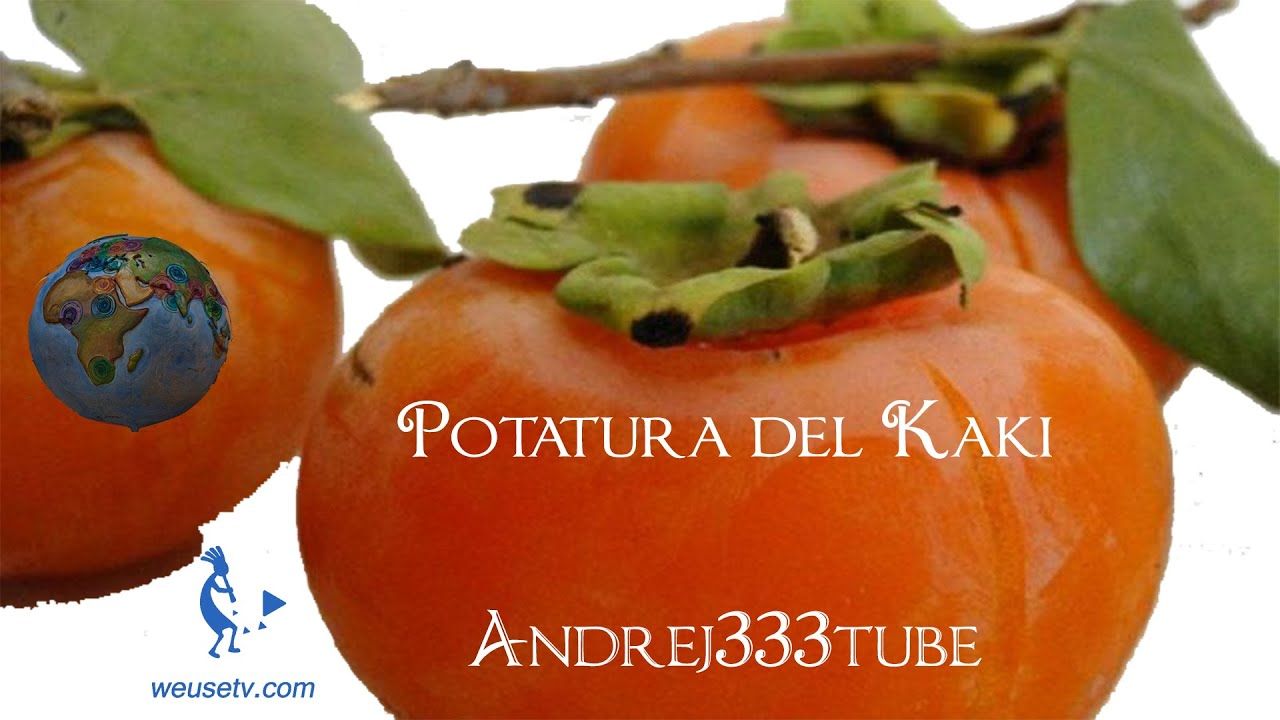 Botanica e giardinaggio  Potatura cachi Diospyros kaki