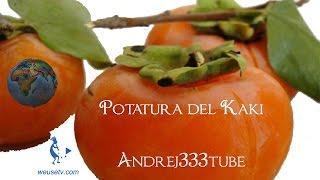 Botanica e giardinaggio - Potatura cachi (Diospyros kaki) (tecniche di potatura alberi da frutto)