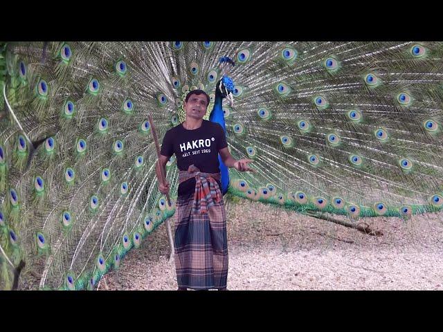 Porimoni Funny Cockpit-Peacock Video