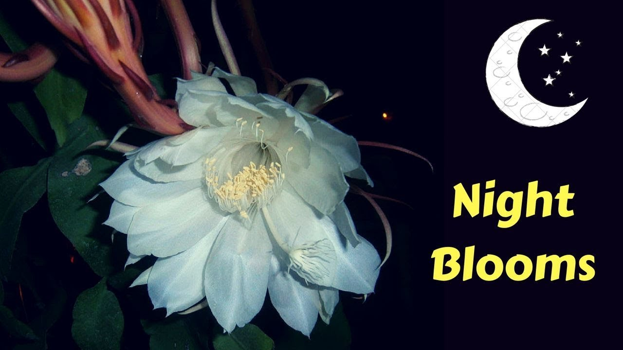 10 most beautiful night blooming flowers in the world 10 most beautiful night blooming flowers in the world gardengraduate izmirmasajfo