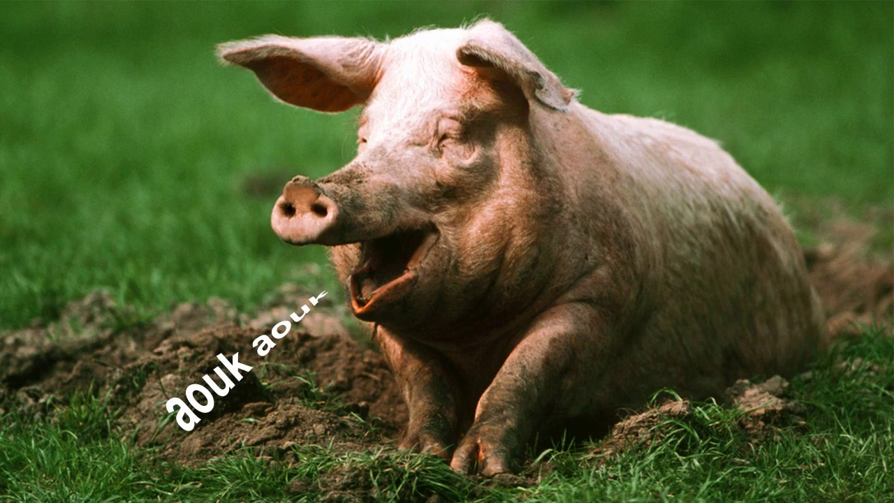 pig sounds effect - voie of animal - YouTube