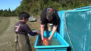 Koi Harvesting at Shintaro Koi Farm 2019
