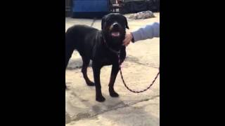 Bobby The Rottweiler Needs Foster To Save His Life !!