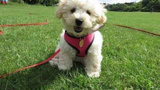 Cashew - Cavapoo Puppy - 5 Week Residential Dog Training At Adolescent Dogs