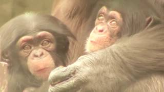 Download Video 双子の赤ちゃん ハイハイして落下 Crawl and fall  twin baby Chimpanzee MP3 3GP MP4