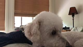 (ASMR) I look at my dog while my neighbor plays foreign music.   Must play at full volume