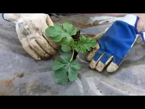Вопрос: Можно ли дыню и арбуз выращивать в одной лунке Как ухаживать?