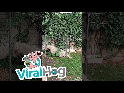 Fluffy Dog Forces Way Through Fence || ViralHog